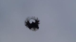 Серпасто-выворотные голуби! Сердюк В.А.