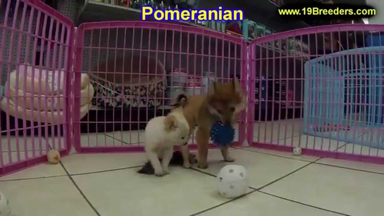 Pomeranian Puppies For Sale In Bellevue Washington Wa