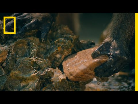 Macaques Use Tools to Shuck Oysters  One Strange Rock