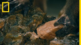 Macaques Use Tools to Shuck Oysters | One Strange Rock