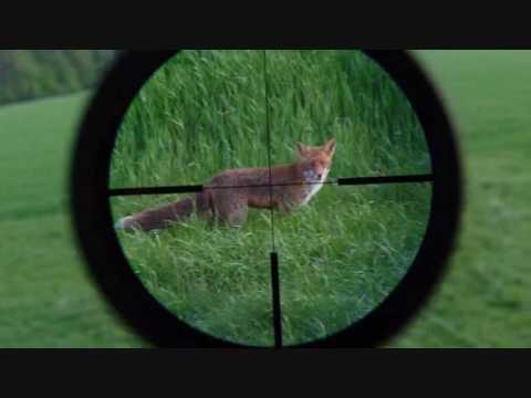 Fuchs am tage gefilmt durch das zeiss varipoint abs