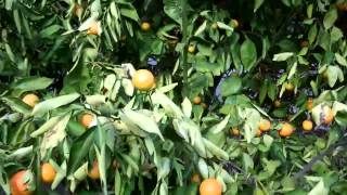 Orange Tree With Huanglongbing HLB Citrus Disease in California?