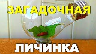 Загадочная ЛИЧИНКА! Чья она - гусеница или бабочки?