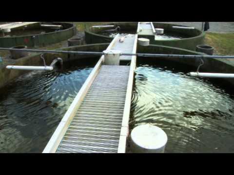 Murphys Irish Seafood Organic Salmon Information Video