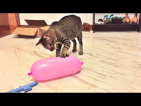 Cat Reaction to Playing Balloon  Funny Cat Balloon Reaction Compilation