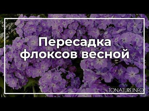 Пересадка флоксов весной   ToNature.Info