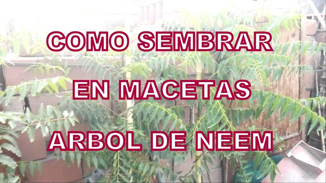 Como sembrar en macetas arbol del neem youtube for Arboles para macetas de exterior