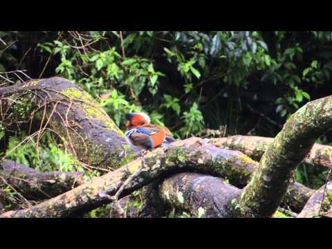 Mandarin Duck 鴛鴦 Mandarinente Taiwan Fushan Botanical Garden