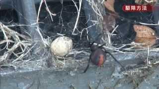 セアカゴケグモによる咬傷被害を防止するために、その生態や日常生活で...