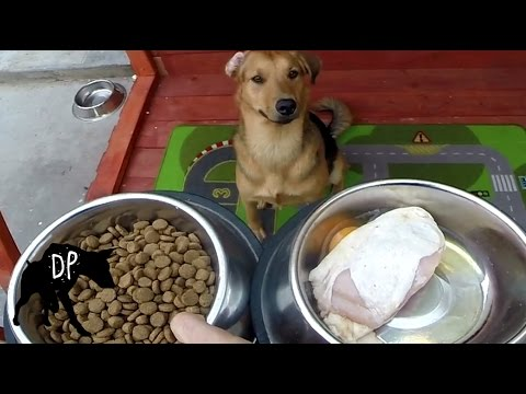 Kibble vs Raw Chicken | Pitbull German Shepard Cross