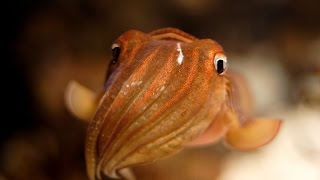 Каракатицы (лат. Sepiida)