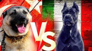Turkish Kangal Vs Cane Corso Cane Corso Vs Kangal Köpekleri Dog kangal canecorso köpek