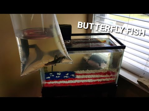 NEW BUTTERFLY FISH FOR FLAG TANK