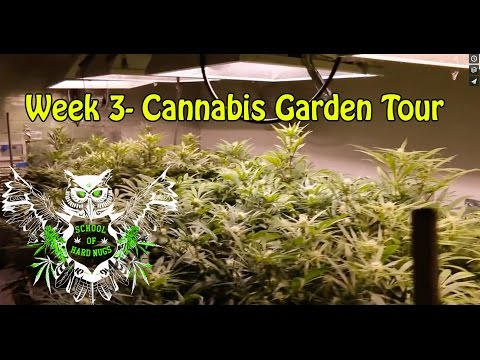 Cannabis Garden Tour - Week 3 Flower | Hydroponic Weed Garden | Learn how to grow Marijuana
