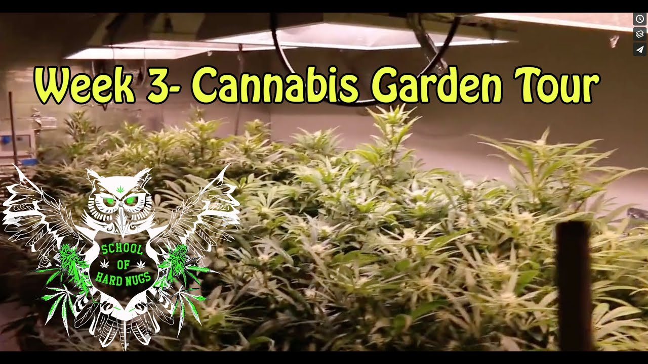 Cannabis Garden Tour Week 3 Flower Hydroponic Weed