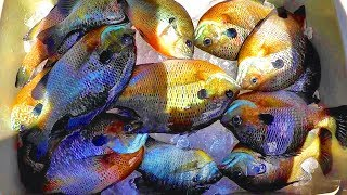 A Simple Way To Catch Loads Of Bluegill