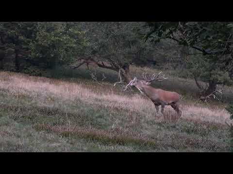 jelení říje 2020 - video Čergov