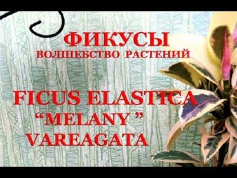 "Фикус эластика сорт ""Мелани"", форма варигатная. Ficus elastica melany varegated"
