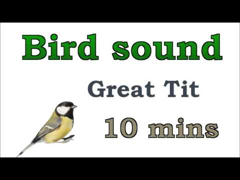 Bird sound #6 - Great Tit