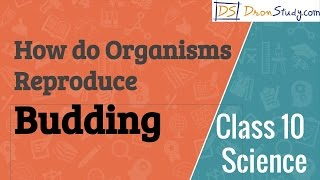Class 10 Science How do Organisms Reproduce - Budding