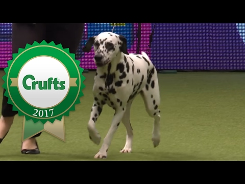 Young Kennel Club Stakes Final and Presentation | Crufts 2017