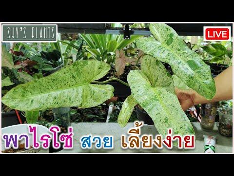 ไม้ด่าง ฟิโลเดนดรอน พาไรโซ่ ตัดเตือน ขยายพันธุ์ วัสดุปลูกฟิโลเดนดรอนแบบง่ายๆ Phhilodendron Paraiso