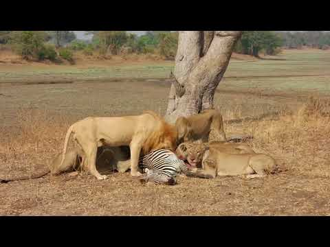Group of lions kill zebra - South Luangwa National Park Zambia - 2017 September 23