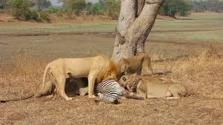 Group of lions attacking zebras in Zambia, Africa