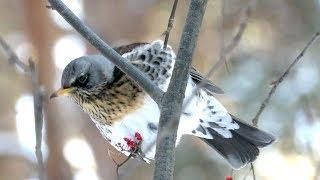 Птицы зимой - Дрозд рябинник в лесу