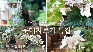 식물초보분들을 위한 왁스플라워, 라벤더, 스파트필름, 제라늄 꽃대자르기