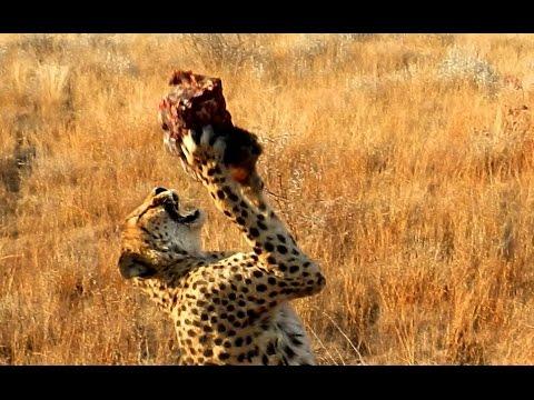 Дикие животные Африки. Животный мир пустыни и саванны. Жираф. Охота. Сафари. Африка.