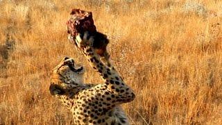 Гепард: охота за мясом. Африка, гепарды: зоопарк-сафари. Дикие животные Африки: хищники