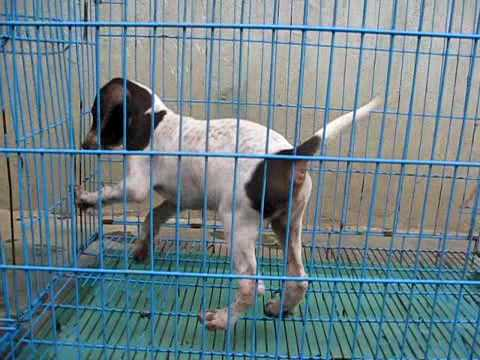 Pointer Puppies for Sale Litter1 Pup2 Female
