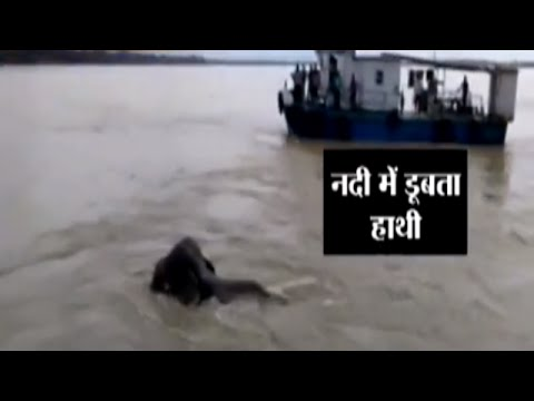 Caught on Camera: Elephant Swept Away with the Flood Water in Brahmaputra River