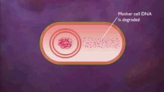 Bacterial Spore Formation Animation Video