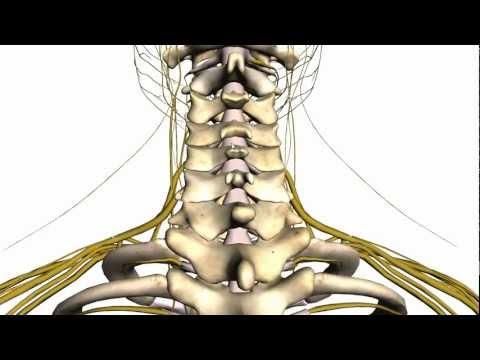 Spine tutorial (1) - Vertebral Column - Anatomy Tutorial