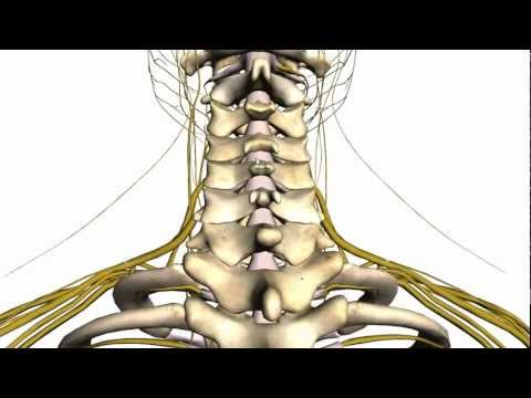 Spine tutorial (1) - Vertebral Column - Anatomy Tutorial
