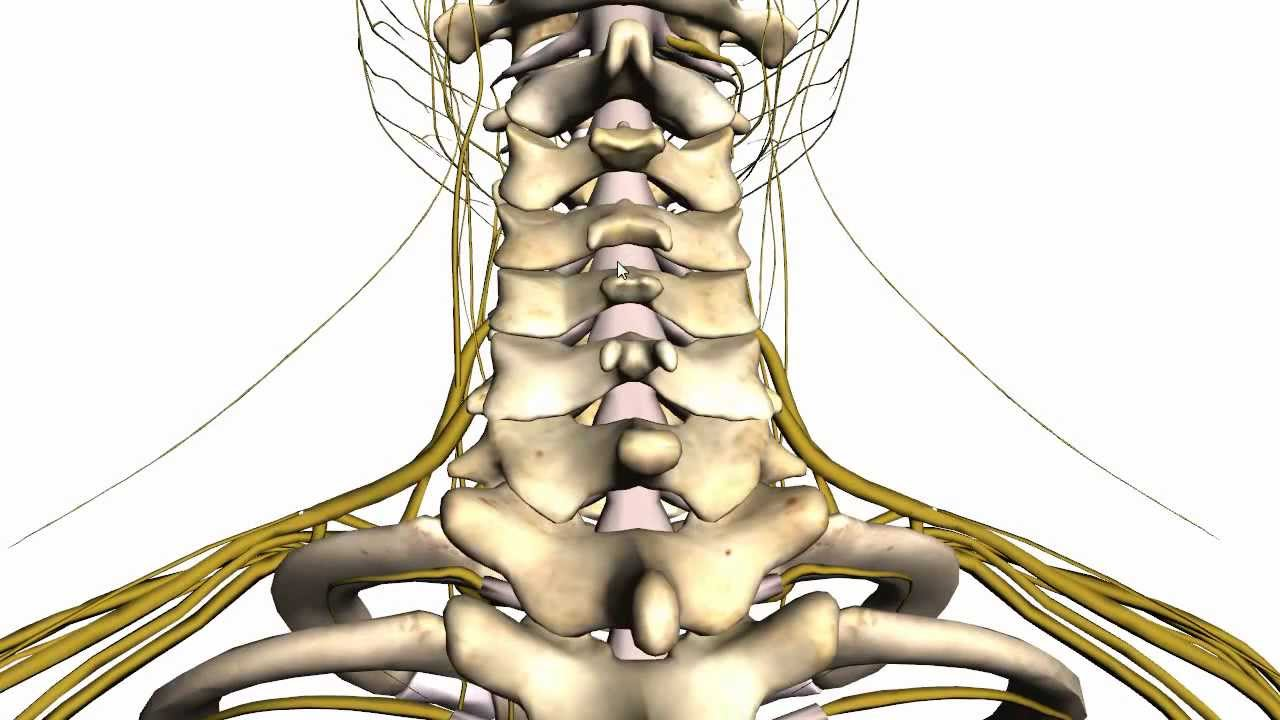 Spine Tutorial 1 Vertebral Column Anatomy Tutorial Youtube