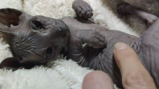 Adorable Sphynx Baby Kittens Cutest Moments  Meowing, Playing and Learning to Walk