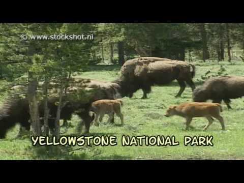 Yellowstone's bison