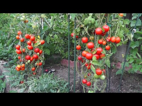 Grow Tomatoes NOT Foliage!