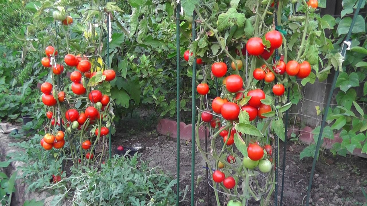 grow tomatoes not foliage, Natural flower