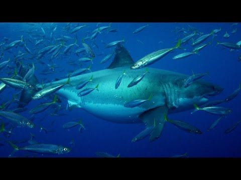 20+ Foot Megashark Filmed in Mexican Waters