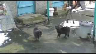 Британец VS Дворовой. Драка котов за территорию.
