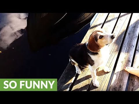 Beagle gets jealous when snapping turtle gets the treats