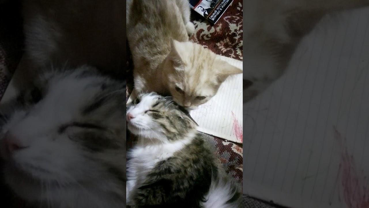 От любви до ненависти)) кот и кошка) - YouTube