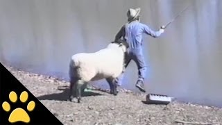 Sheep - 1, Fisherman - 0