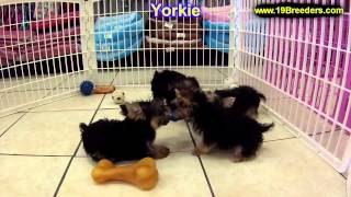 Yorkshire Terrier, Puppies, For, Sale In Toronto, Canada, Cities, Montreal, Vancouver, Calgary