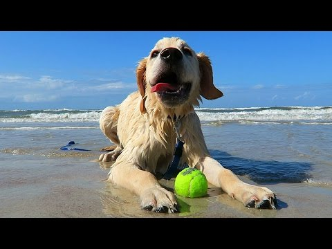 Golden Retriever Puppy Goes to the Beach!