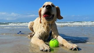 golden retriever puppy goes to the beach